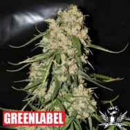 Green Label Seeds Mountain Kush